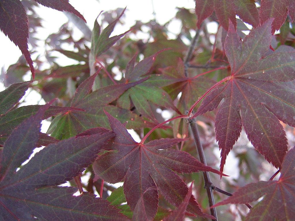Perchè Acero Rosso Diventa Verde acero rosso